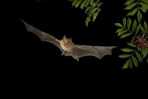 KPA horseshoe bat