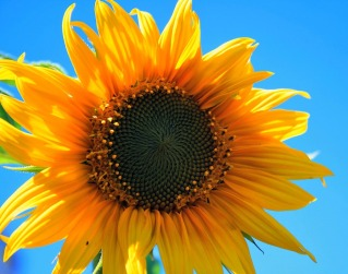 000yellow-sunflower-403172_960_720