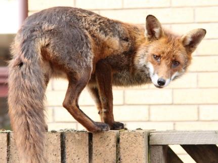 KPAurban fox