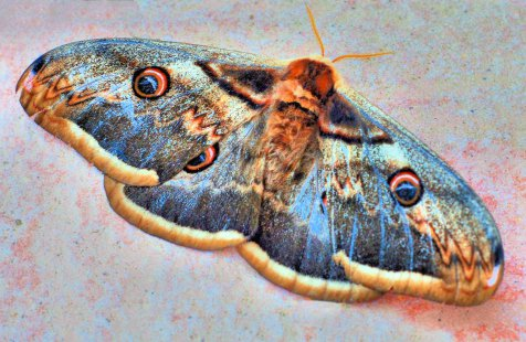000giant-emperor-moth-adjusted-by-clive