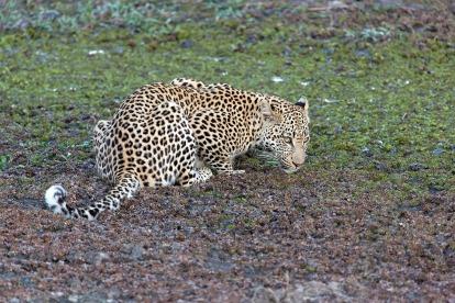 000leopard-1086908_960_720
