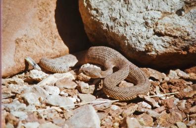 rattlesnake-903021_960_720